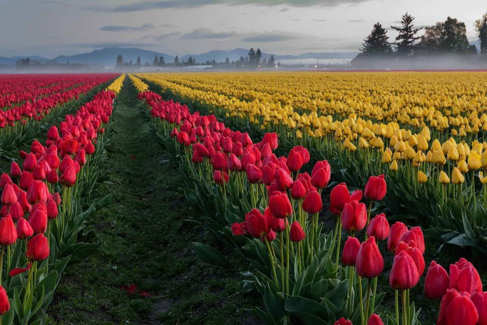 Skagit Valley Tulips 2015