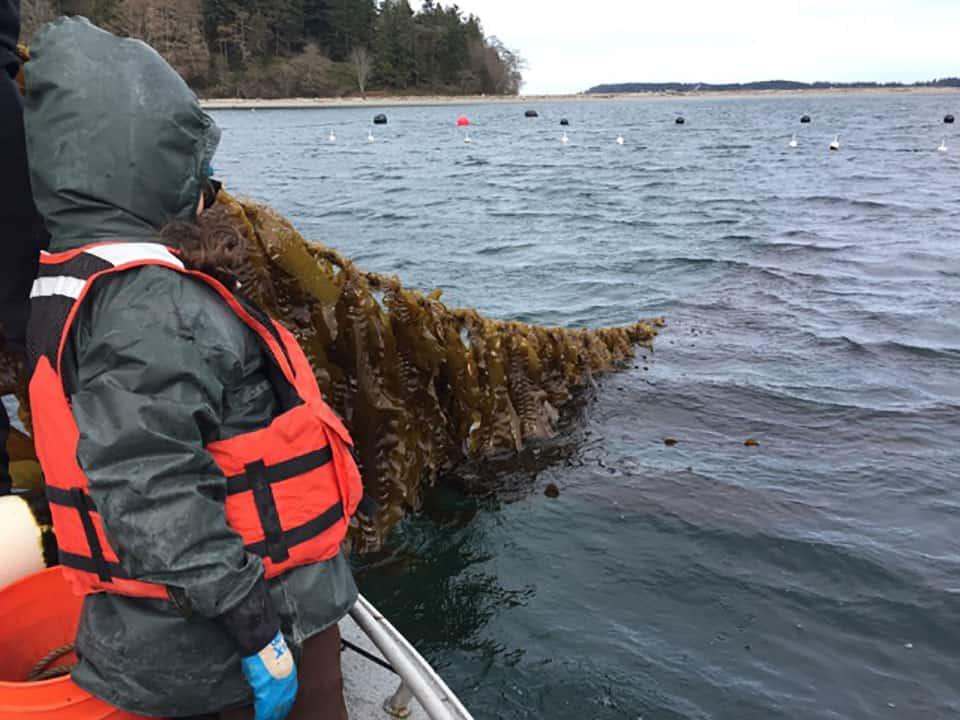 examining seeded kelp lines