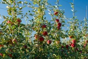 Rave Apples New Breakthroughs in Washington Apples